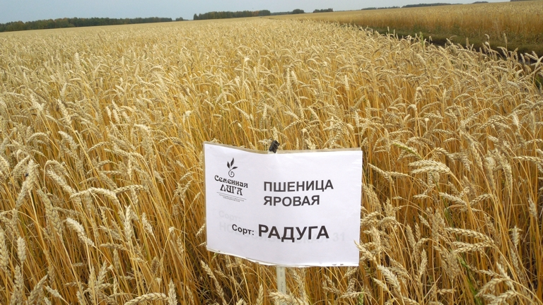 Pshenitsa-sort-Raduga-11