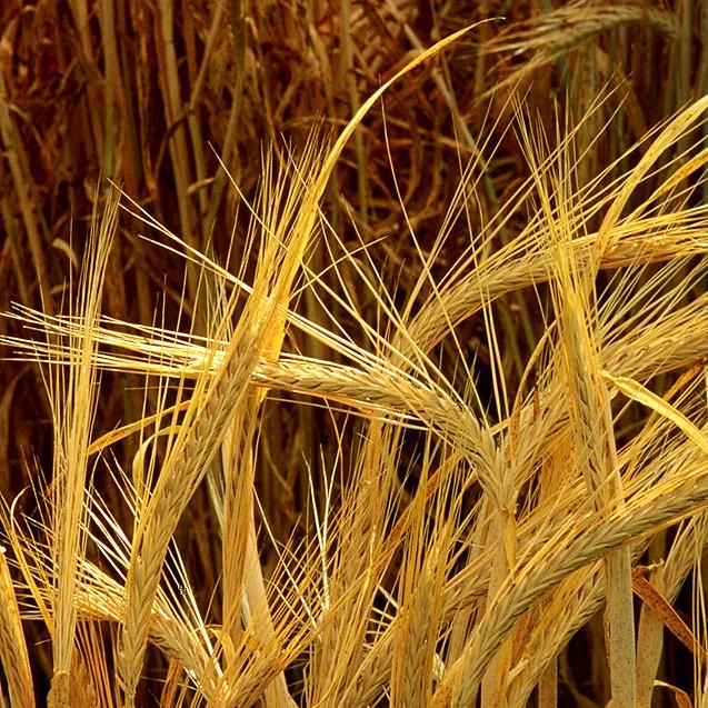 Hordeum-barley1-e1395657720114