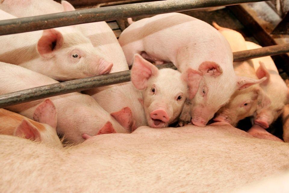 Kupim-svinnokompleksy