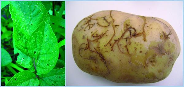 potato-flea