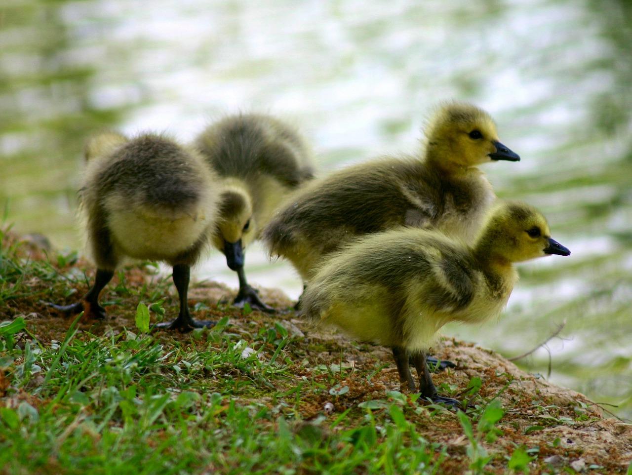 canada-goose-215104_1280