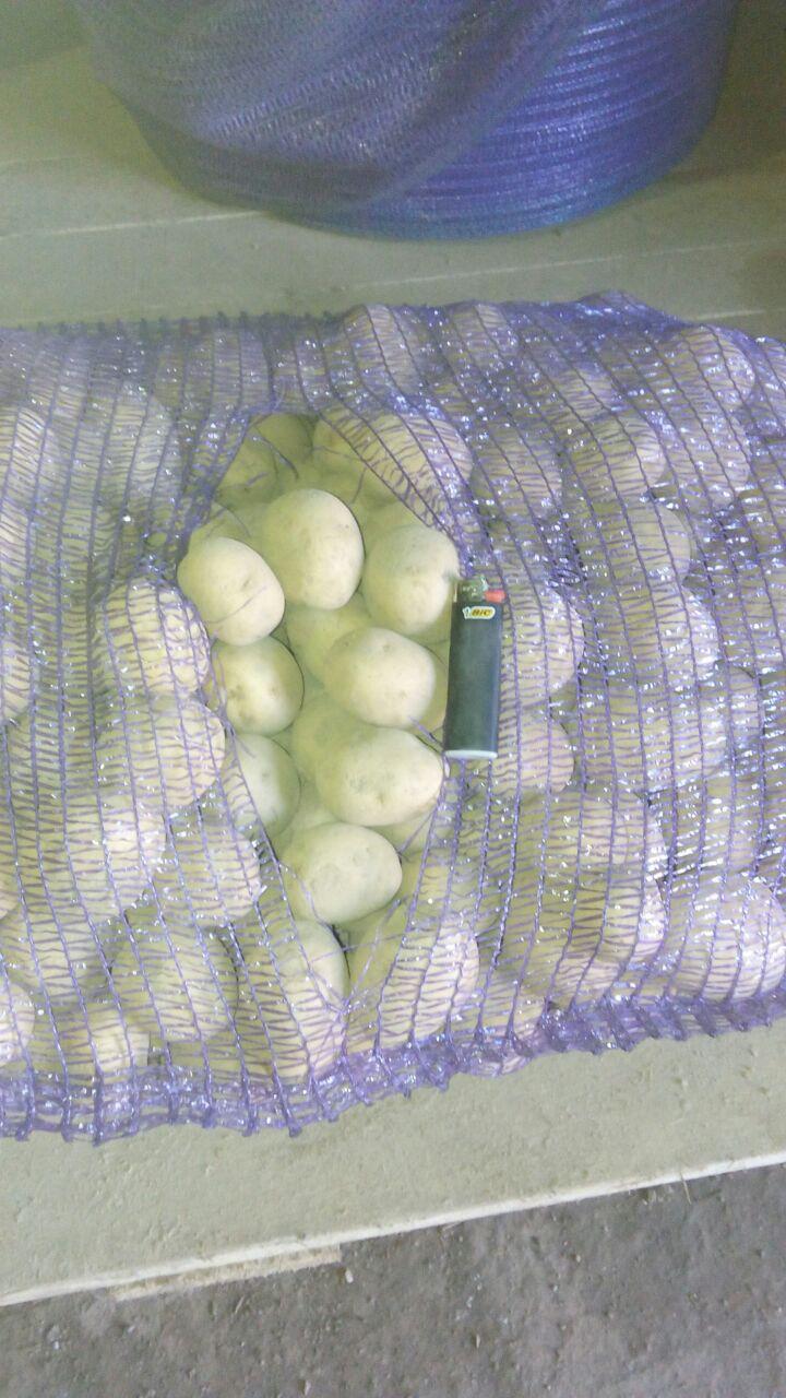 Semennoj-kartofel-1-1