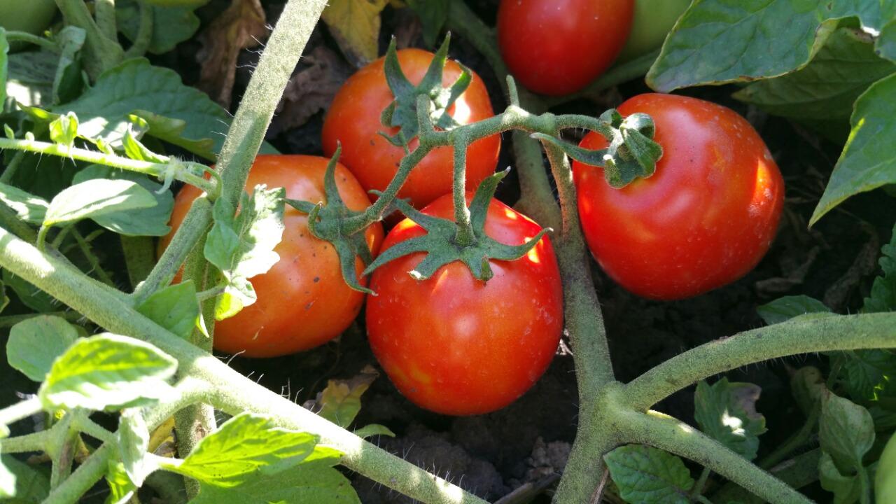 tomat-3