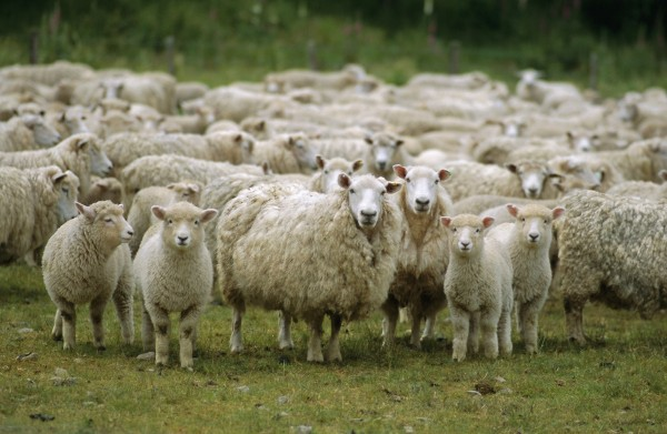 ekologicheski-chistye-ovcy-iz-ryazani