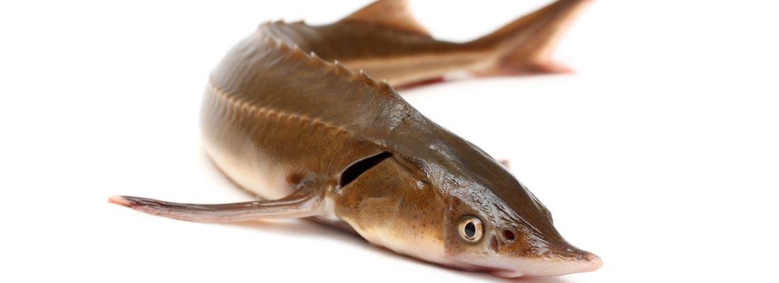 korma-dlya-osetrovyh-ryb