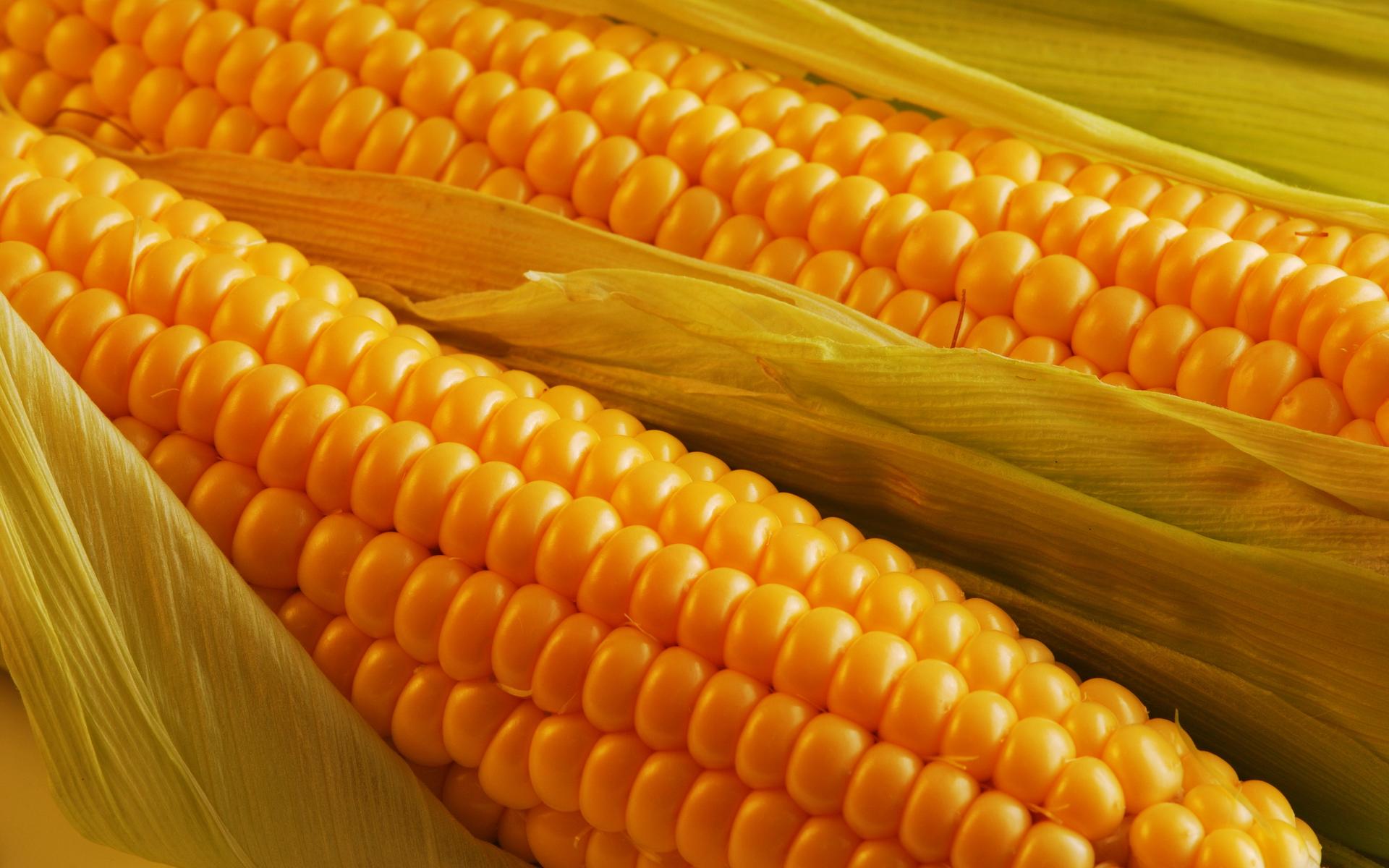 kukuruza-231