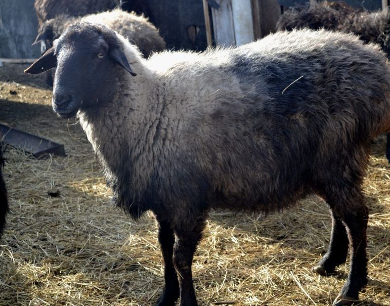 a-breed-of-sheep-of-Edilbaevskaya5