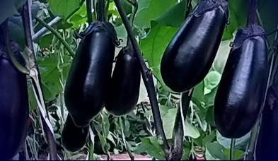 baklajan-koreiskii-karlik-kupit-semena