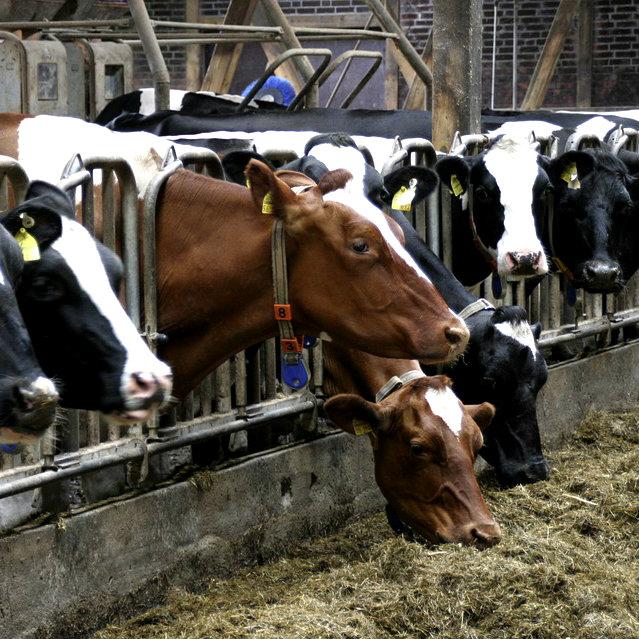 cows-552946_960_720