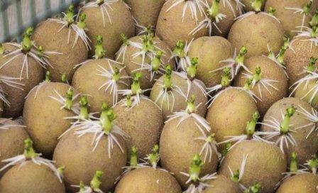 hranenie-kartofelya-2