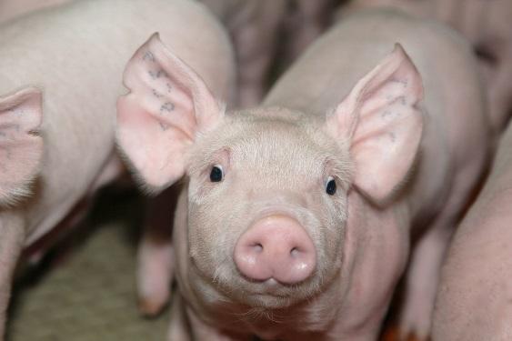 plemennoe-svinovodstvo