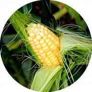 kukuruza-mashuk-250