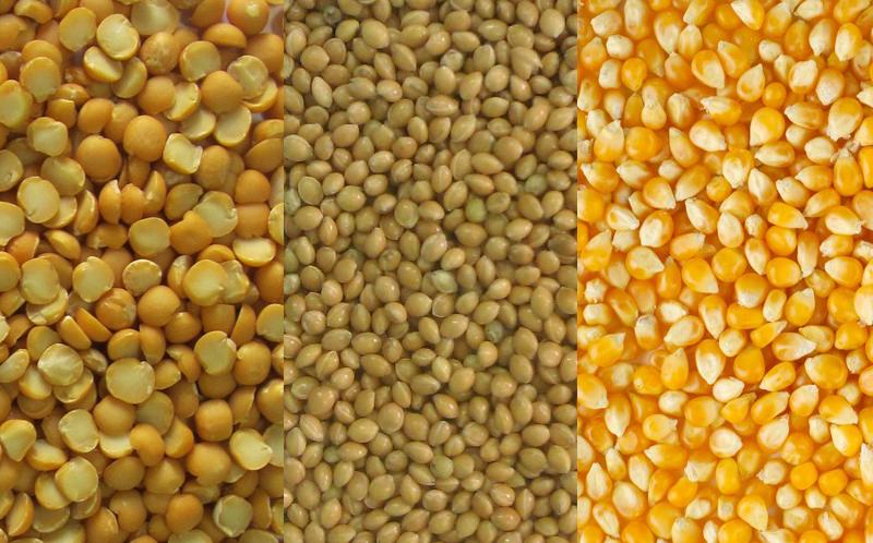 proso-goroh-kukuruza1