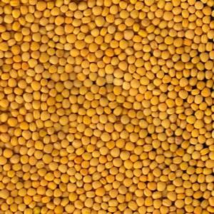 yellow-mustard-300