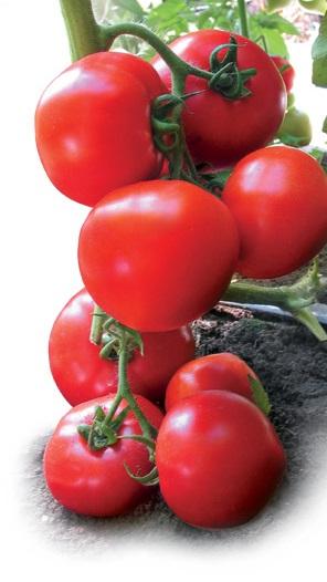 Tomat-YADVIGA-F1