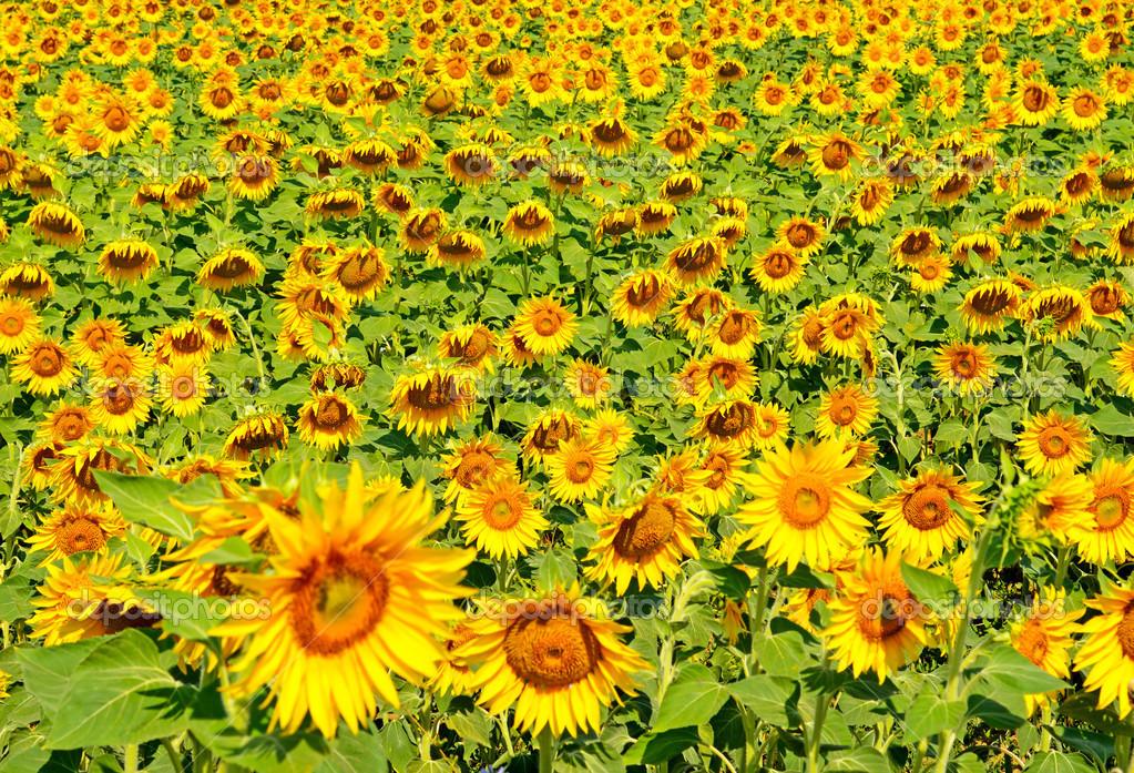depositphotos_34397633-A-beautiful-sunflower-field