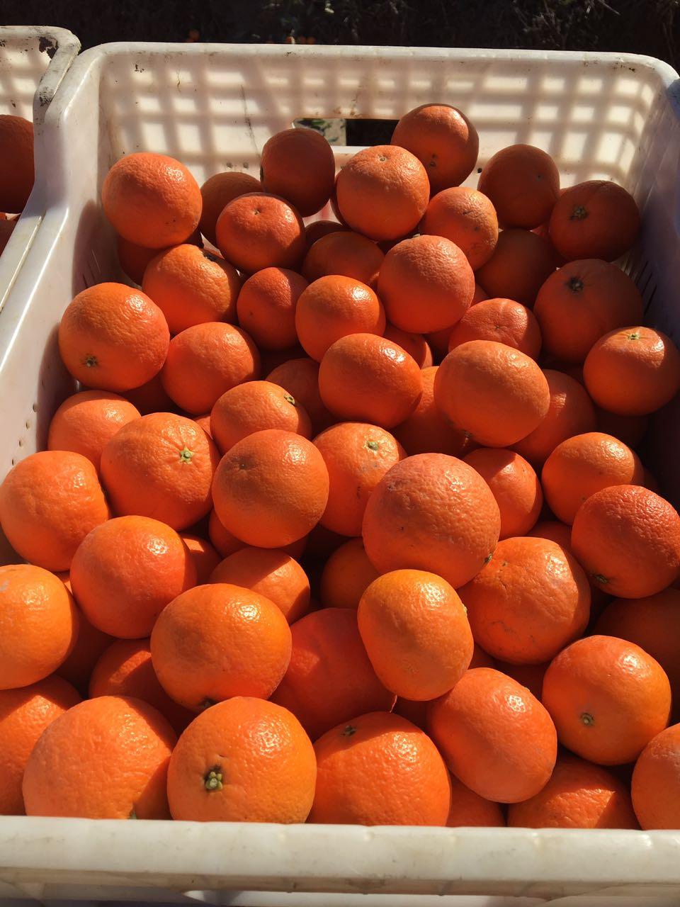 mandarin-7