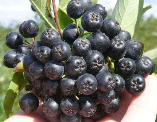 plody-chernoplodnoj-rjabiny