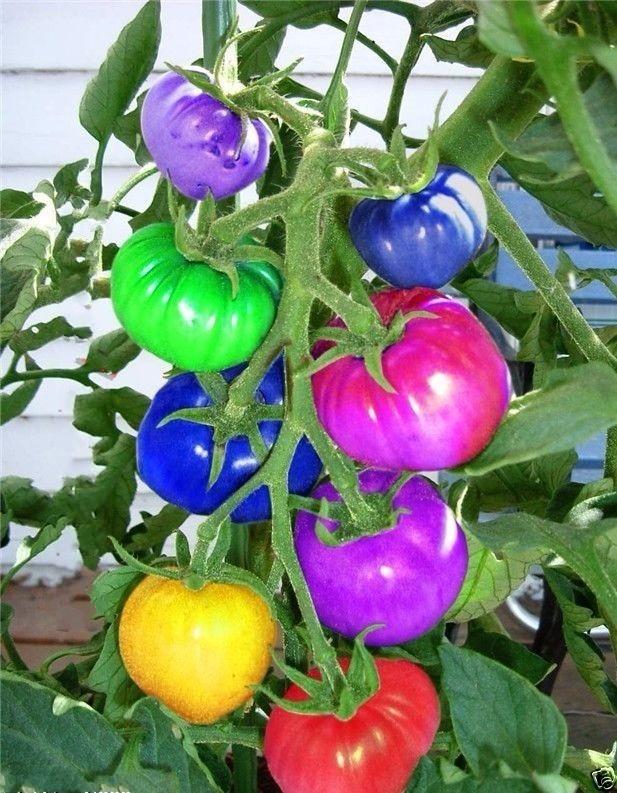 kartina_svetofory_pomidory