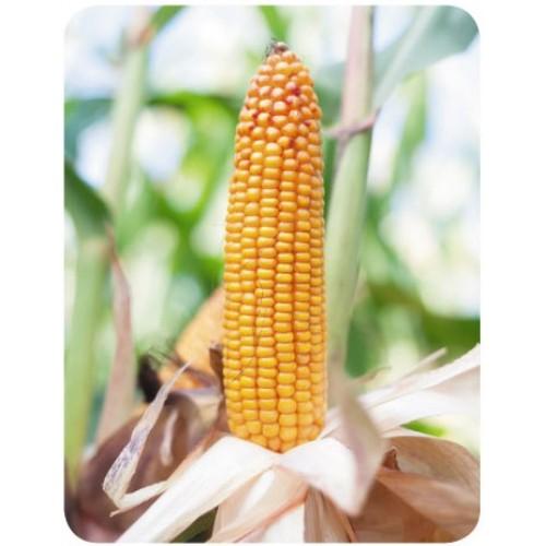 kukuruza-8