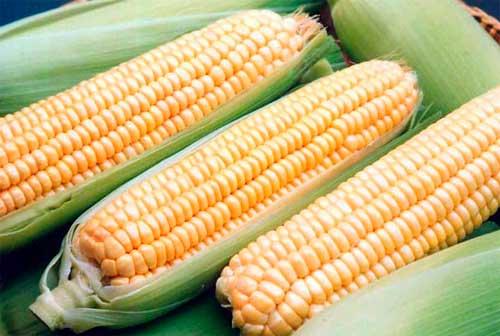 po4atki-kukuruza