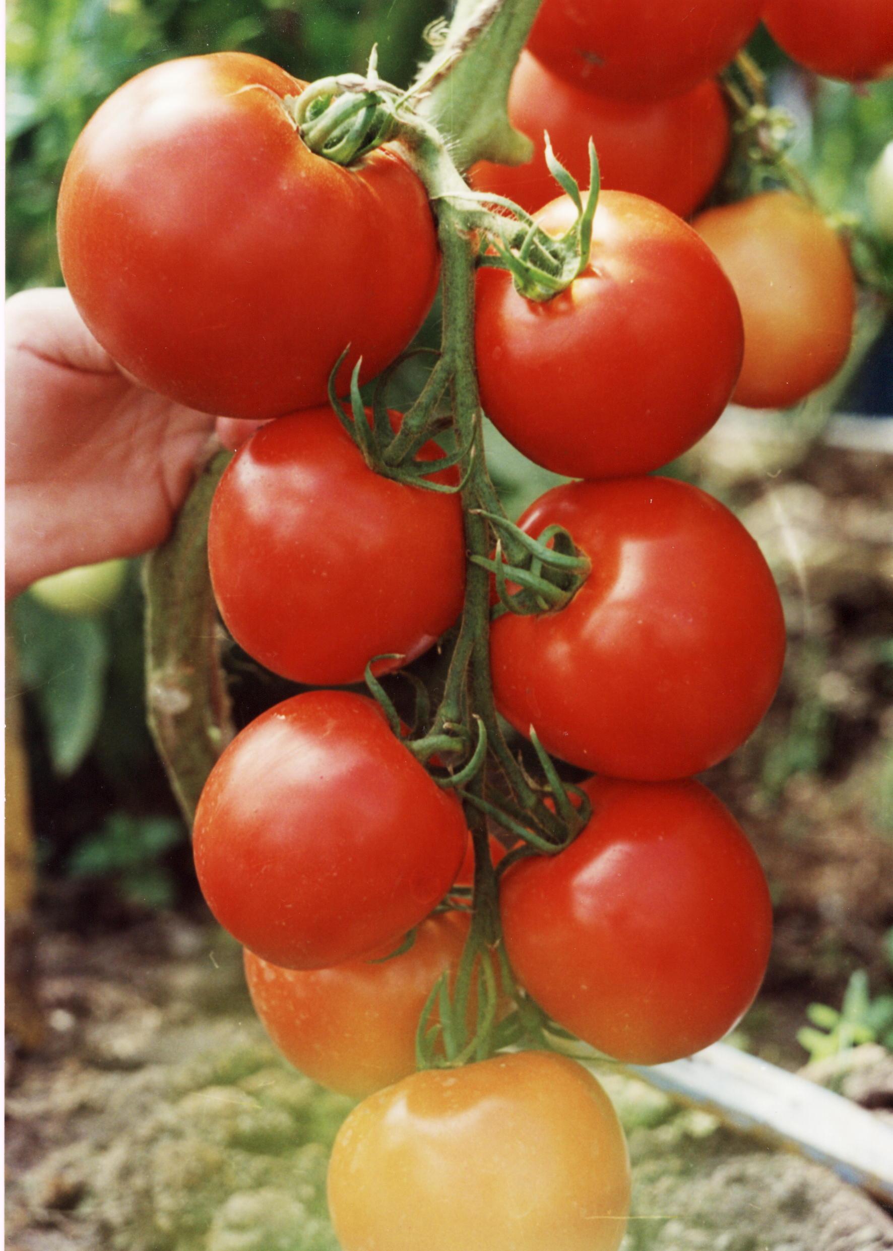 Ris.-13.-Tomat-sort-Delta-264.