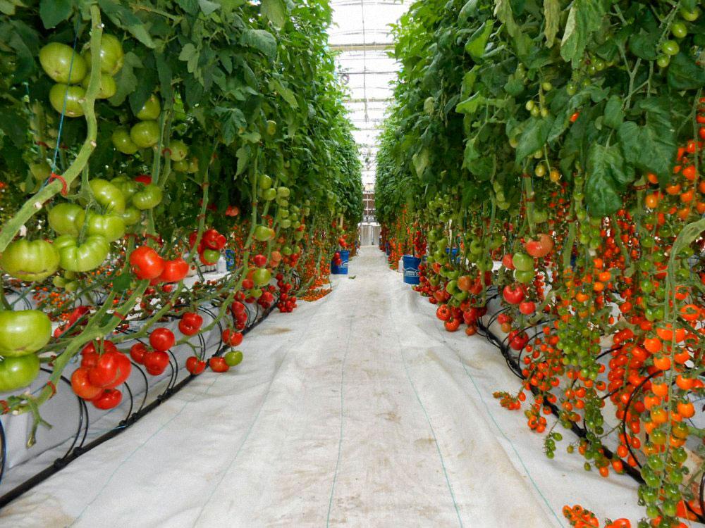 Teplitsa-pomidory5