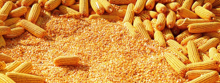 corn_egypt2