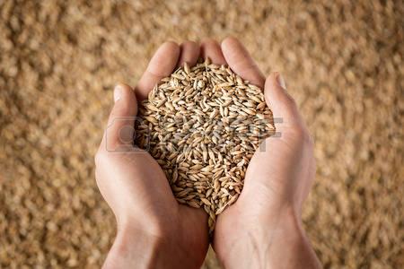 44296300-Urozhaj-zakryt-rukami-fermera-zanimayushhih-pshenichnye-zerna