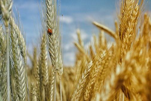 cornfield-195642__340