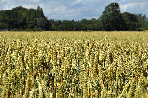 wheat-1712837__340