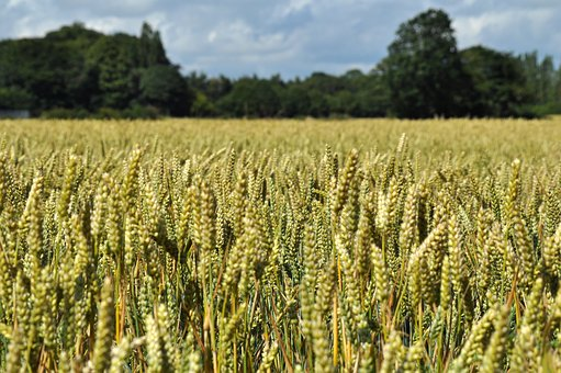 wheat-1712837__3401