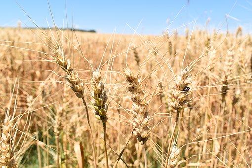 wheat-1900471__340
