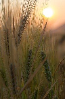 wheat-2417391__340