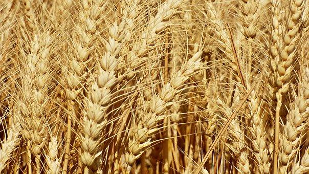 wheat-2455565__340