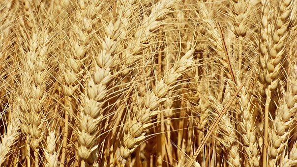 wheat-2455565__3403