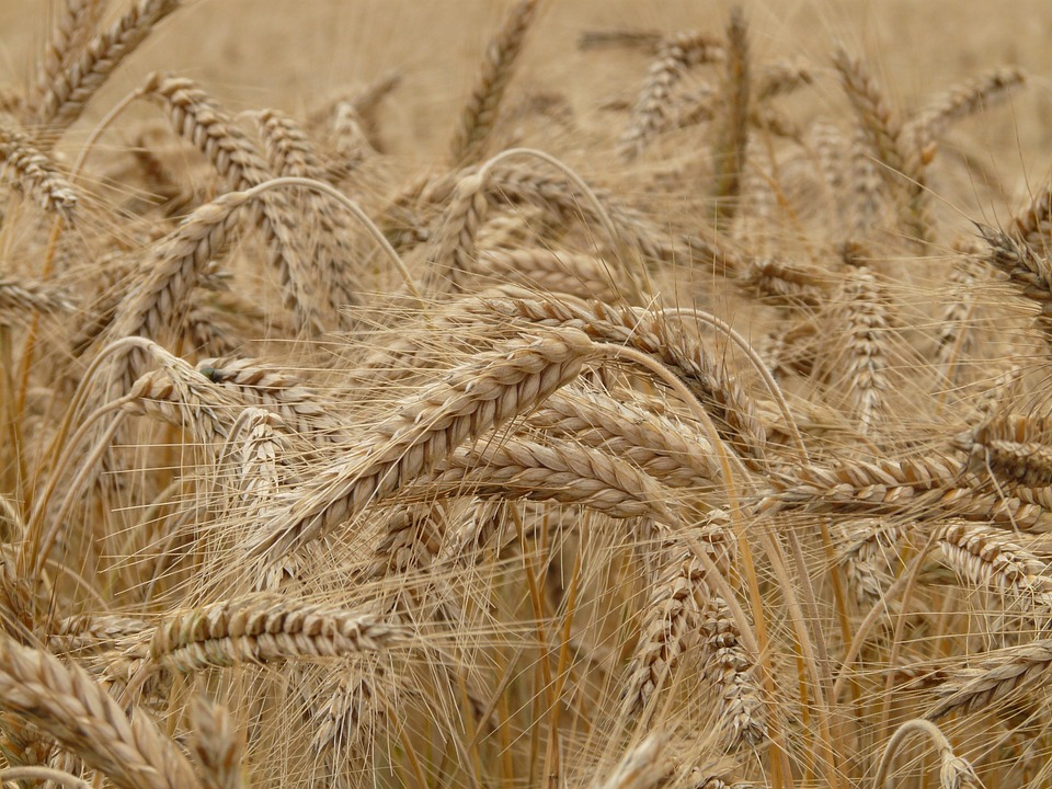 wheat-8762_960_7201