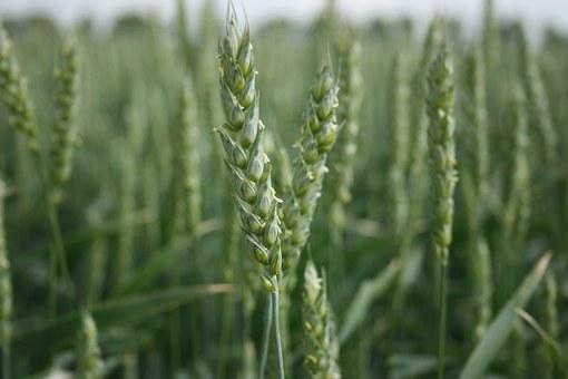 wheat-989469__3402