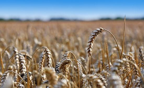 wheat-field-1305082__340