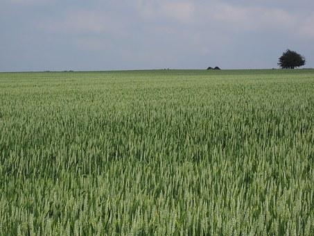 wheat-field-1355680__3401