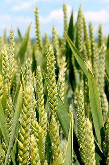 wheat-1449889__340