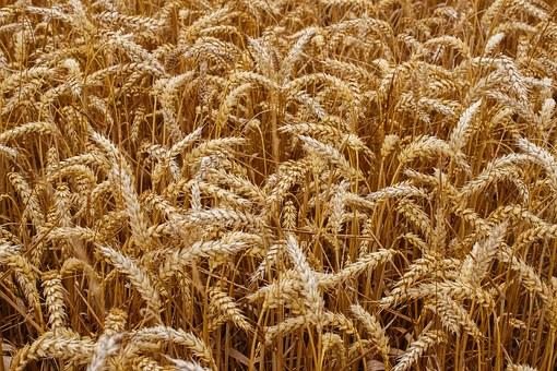 wheat-1530316__340