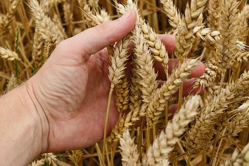 wheat-1530321__340