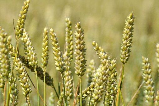 wheat-1712836__340
