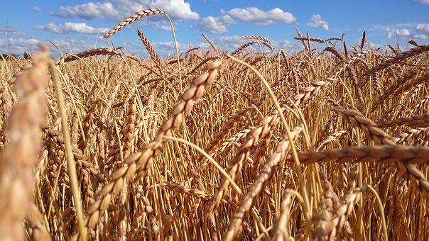 wheat-2242428__340