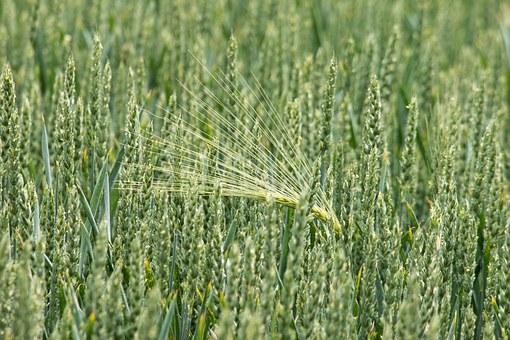 wheat-797086__340