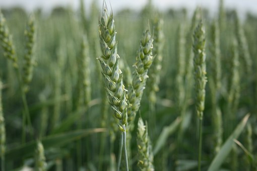 wheat-989469__3401