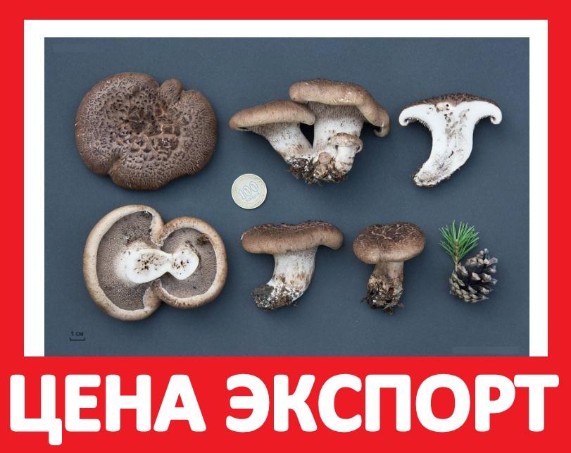 Kuplyu-ezhovik-sushyonyj-pestryj-tsena