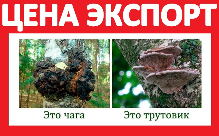Kupit-berezovuyu-chagu-grib-tsena-optom