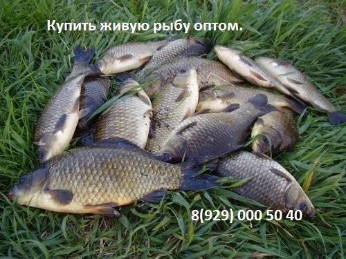 kuplyu-zhivuyu-rybu